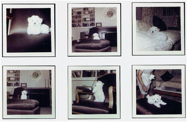 imágenes del bichon de marilyn monroe