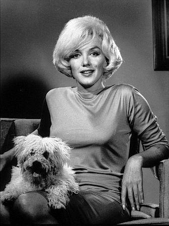 bichon Maf y Marilyn Monroe