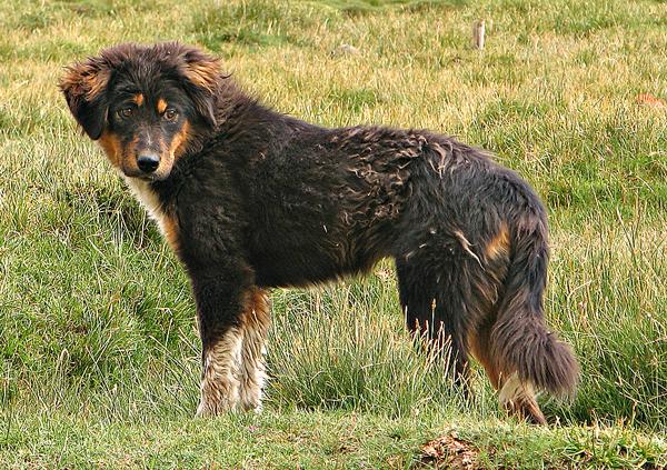 Mastin Tibetano cachorro