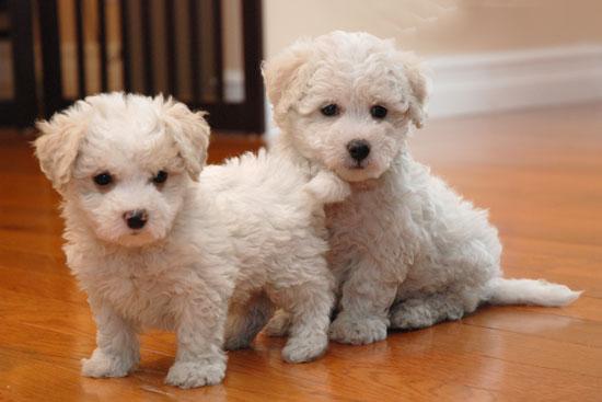 fotos cachorros Maltichon
