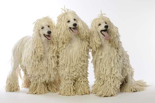 Corded Poodles. Caniches