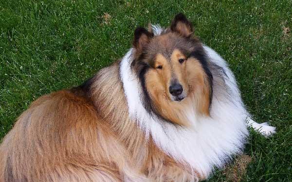 cómo es el perro raza Collie
