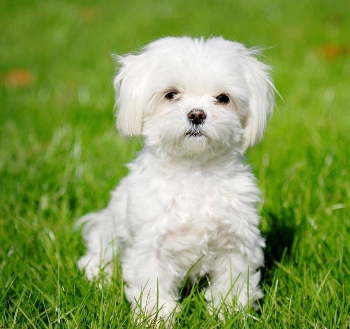 Cachorro Bichon Maltes