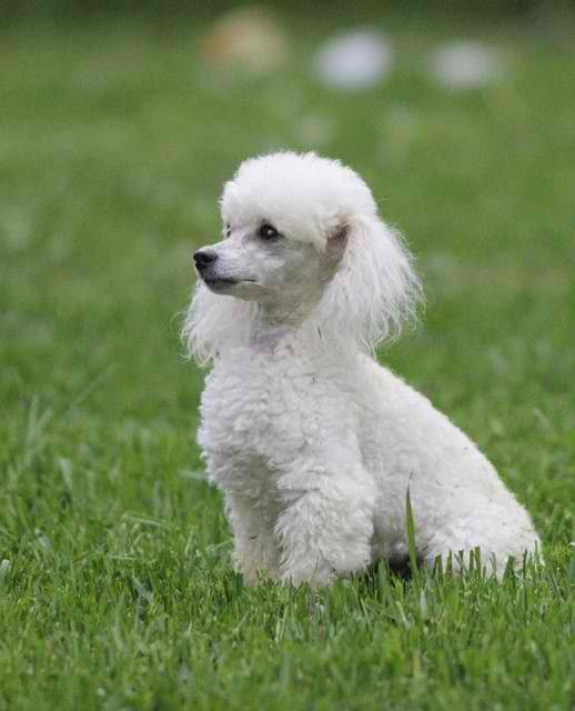 caniche, es el más inteligente de los perros?