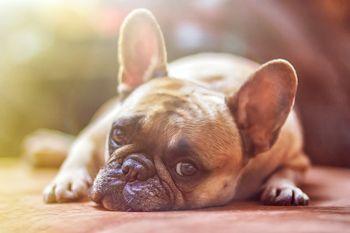 Cómo es el Bulldog francés