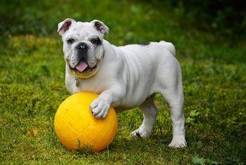 Cómo es el Bulldog inglés