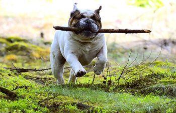 Bulldog jugando