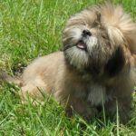 Lhasa Apso, cachorro