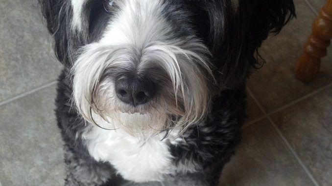 Terrier Tibetano El perro de la buena suerte