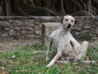 ¿Qué causa la sarna en los perros?