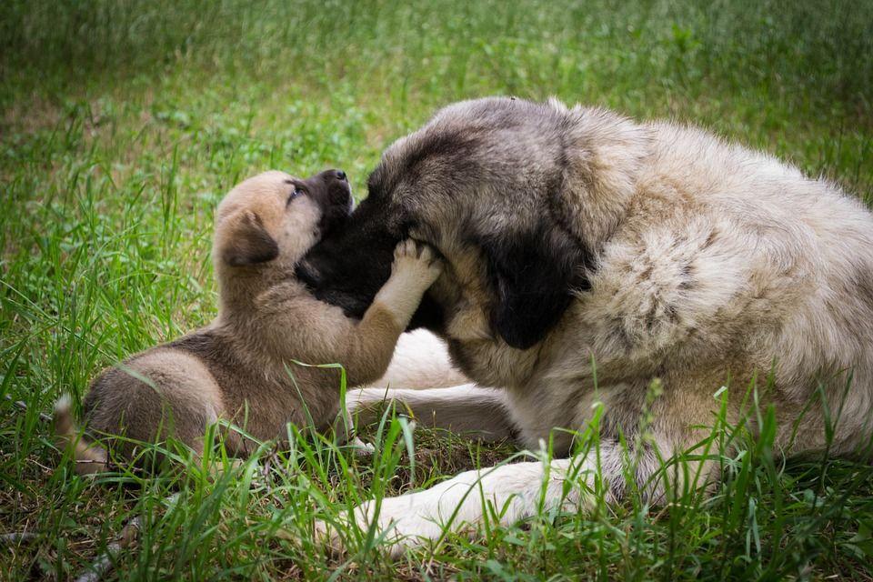 Todos losperroscriados normalmente por sus madres poseen ácaros de la sarna demodécica (Demodex canis), que se transfieren de madre a cachorro mediante caricias durante los primeros días de vida