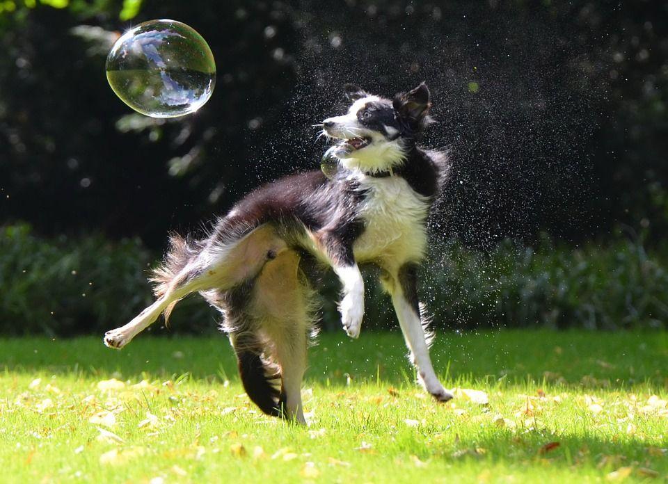 Border collie, el perro mas inteligente