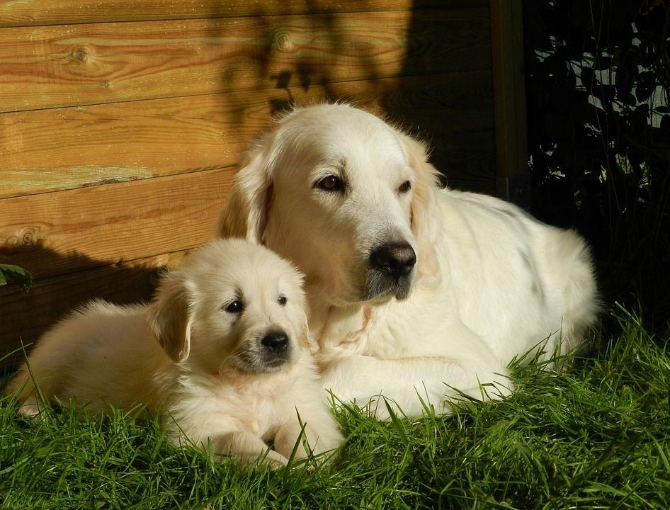 Golden Retriever, también un perro muy inteligenteGolden Retriever, también un perro muy inteligente