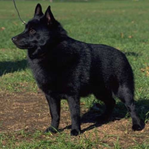Schipperke, también un inteligente perro