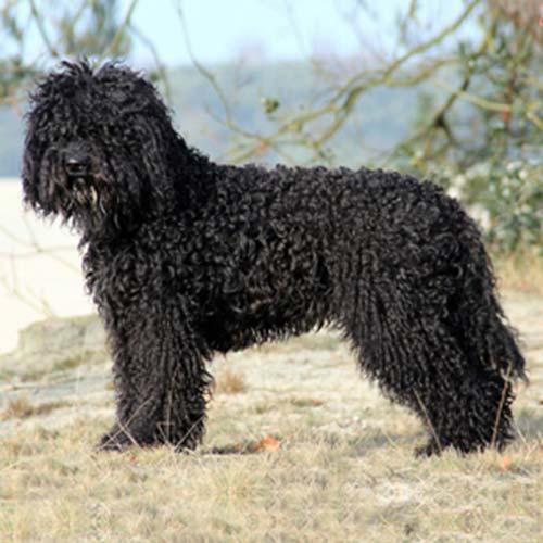 El Barbet, raza francesa de perro de aguas de mediano tamaño