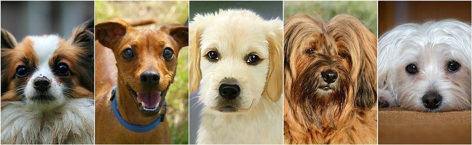 Procendencia razas de perros