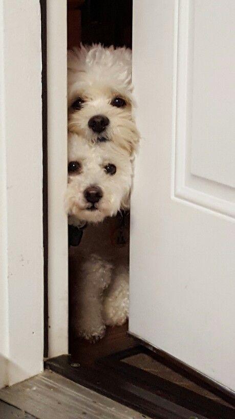 ¿Los perros malteses ladran mucho?
