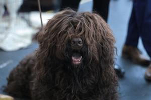 raza de perros Barbet