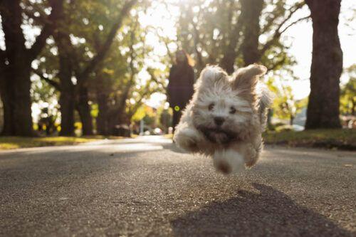 Cómo combatir el mal olor de aliento de los perros