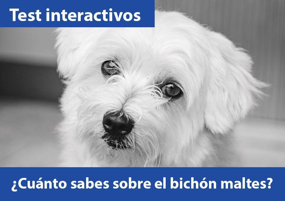 TEST INTERACTIVOS. ¿Cuánto sabes sobre el bichón maltes y otros perritos?
